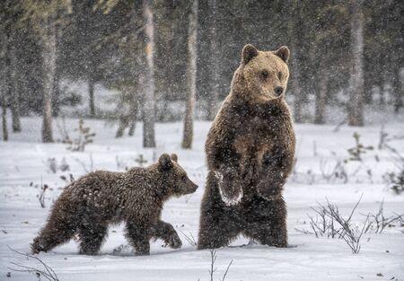 She-Bear and bear cubs in winter forest. Snowfall in Winter season. Natural habitat. Brown bear, Scientific name: Ursus Arctos Arctos. Stock Photo