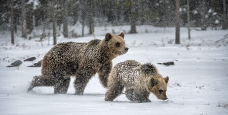 She-Bear and bear cub in the snow. Brown bears in the morning winter forest. Natural habitat. Scientific name: Ursus Arctos Arctos.
