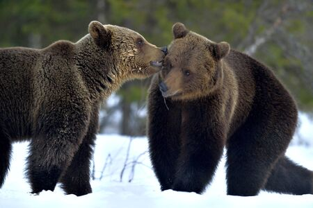 Couple of bears sniffing each other. Brown Bear Being Friendly. Scientific name: Ursus Arctos. Winter forest. Natural Habitat. Stock Photo