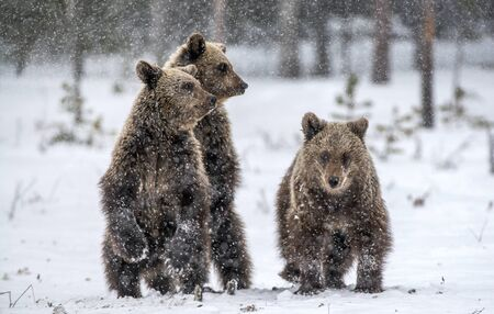 Bear cubs stands on its hind legs in winter forest. Natural habitat. Brown bear, Scientific name: Ursus Arctos Arctos.