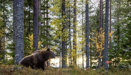 Big Adult Male of Brown bear in the autumn forest. Scientific name: Ursus arctos. Natural habitat.