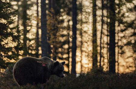 Silhouette of a bear. Forest at sunset background. Big Adult Male of Brown bear in the autumn forest. Scientific name: Ursus arctos. Natural habitat. Stockfoto