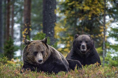 Big Adult Male of Brown bears in the autumn forest. Scientific name: Ursus arctos. Natural habitat.