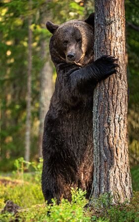 Brown bear stands on its hind legs by a tree in a pine forest. Adult Male of Brown bear in the autumn pine forest. Scientific name: Ursus arctos. Natural habitat.