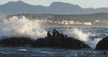 Seascape of storm morning. The colony of seals on the rocky island in the ocean. Waves breaking in spray on a stone island.  Mossel bay. South Africa Foto de archivo