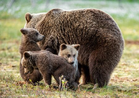 She-bear and cubs on the bog  in the summer forest. Natural Habitat. Brown bear, scientific name: Ursus arctos. Summer season.