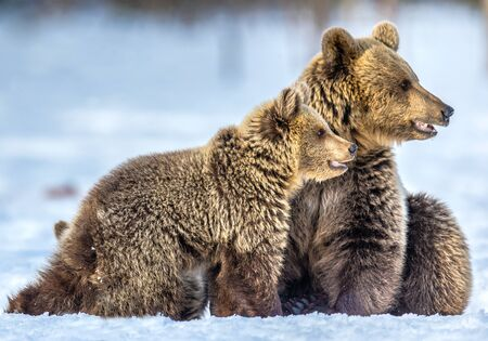 She-Bear and bear cubs on the snow. Brown bears  in the winter forest. Natural habitat. Scientific name: Ursus Arctos Arctos. Stock Photo