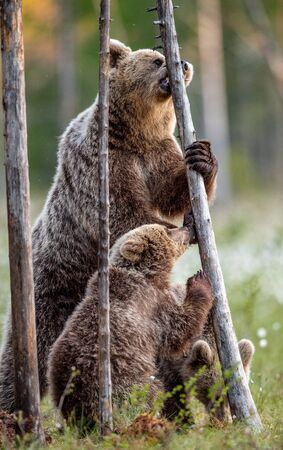 Brown bears. She-bear and cubs stands on its hind legs. Scientific name: Ursus Arctos ( Brown Bear). Green natural background. Natural habitat, summer season. Stock fotó