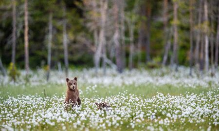 Brown bear cub  on the field among white flowers. Bear Cub stands on its hind legs. Scientific name: Ursus arctos.