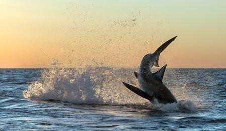 Durchbrechen des Weißen Hais. Hai jagt Beute. Roter Morgenhimmel, Sonnenaufgang. Wissenschaftlicher Name: Carcharodon carcharias. Südafrika.