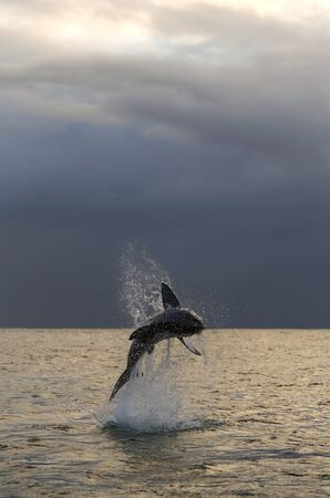 Breaching Great White Shark. Dawn sky and storm clouds background.  Scientific name: Carcharodon carcharias. South Africa.