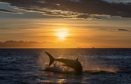 Breaching Great White Shark. Shark chasing prey. Red dawn sky, sunrise.  Scientific name: Carcharodon carcharias. South Africa. Stock fotó
