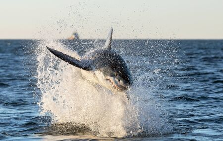 Breaching Great White Shark. Front view.  Scientific name: Carcharodon carcharias. South Africa. Stock fotó