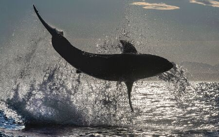 Silhouette of Breaching Great White Shark. Back light. Scientific name: Carcharodon carcharias. South Africa.
