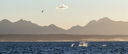 Breaching Great White Shark.  Shark hunting seals. Silhouettes mountains in the background, dawn haze.  Scientific name: Carcharodon carcharias. South Africa.