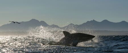 Breaching Great White Shark.   Shark hunting seals. Silhouettes mountains in the background, dawn haze.  Scientific name: Carcharodon carcharias. South Africa. Stock fotó