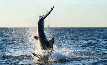 Breaching Great White Shark. Scientific name: Carcharodon carcharias. South Africa