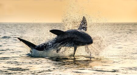 Jumping Great White Shark. Scientific name: Carcharodon carcharias. South Africa