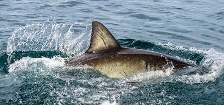 Shark back and dorsal fin above water.   Fin of great white shark, Carcharodon carcharias,  South Africa, Atlantic Ocean