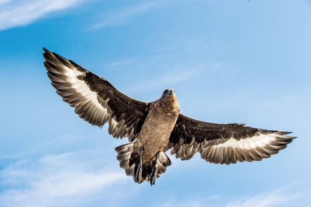 Great Skua in flight on blue sky background. Scientific name: Catharacta skua. Bottom view.