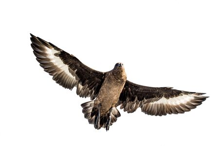 Great Skua in flight. Bottom view on white background. Scientific name:  Catharacta skua.