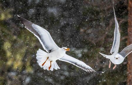 The European herring gull in flight. Scientific name: Larus argentatus. Dark natural background.