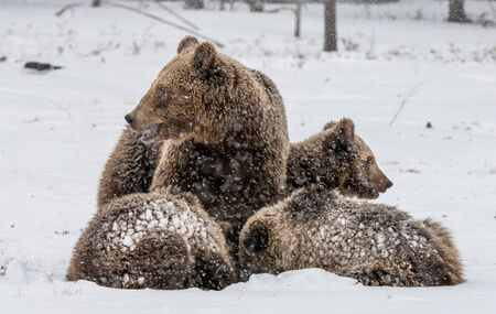 Bear family in the snowfall. She-Bear and bear cubs on the snow. Brown bears in the winter forest. Natural habitat. Scientific name: Ursus Arctos Arctos.