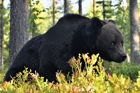 Close up portrait of Brown bear in the summer forest at sunset. Green pine forest natural background. Scientific name: Ursus arctos. Natural habitat. Summer season.