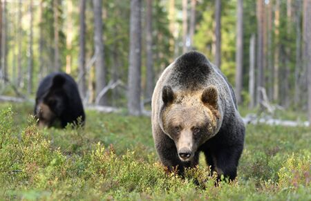 Brown bear in the summer forest. Front view. Green forest natural background. Scientific name: Ursus arctos. Natural habitat. Summer season.