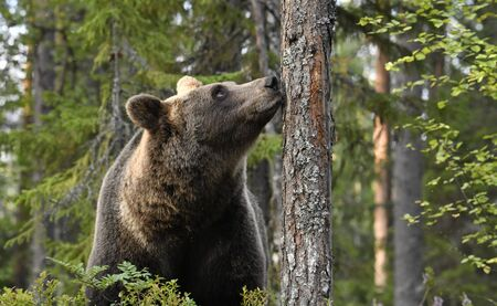 The bear sniffs a tree. Brown bear in the summer pine forest. Scientific name: Ursus arctos. Natural habitat. Summer season.