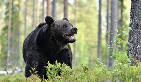 Close up portrait of Brown bear with open mouth in the summer forest. Front view. Green forest natural background. Scientific name: Ursus arctos. Natural habitat. Summer season.