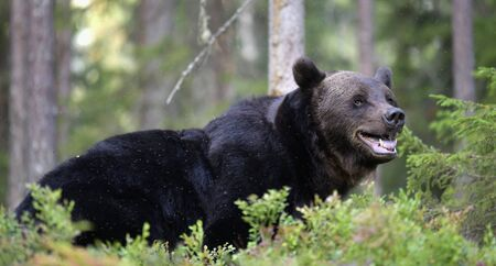 Brown bear with open mouth in the summer forest.  Green forest natural background. Scientific name: Ursus arctos. Natural habitat. Summer season. 版權商用圖片
