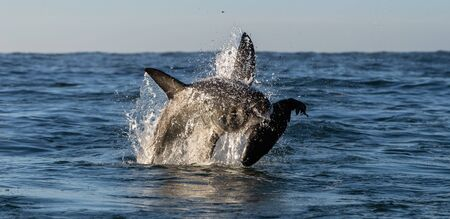 Breaching Great White Shark. Shark attacks the bait. Scientific name: Carcharodon carcharias. South Africa.