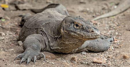 The Komodo dragon. Front view, close up. Scientific name: Varanus komodoensis. Indonesia.