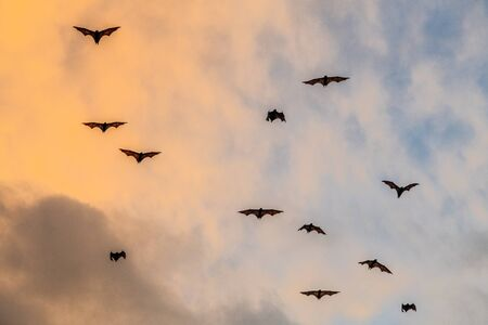 A flock of fruit bats in the sunset sky. The small flying fox, island flying fox or variable flying fox (Pteropus hypomelanus), fruit bat . Fox bat flying in the sunset sky. Foto de archivo - 140903895