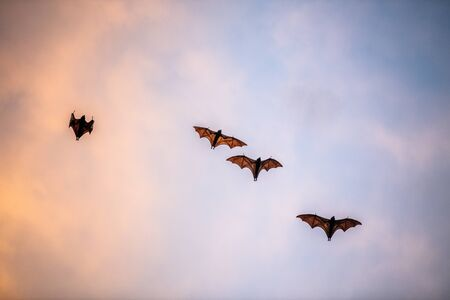 A flock of fruit bats in the sunset sky. The small flying fox, island flying fox or variable flying fox (Pteropus hypomelanus), fruit bat . Fox bat flying in the sunset sky. Foto de archivo - 140903897