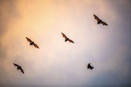 A flock of fruit bats in the sunset sky. The small flying fox, island flying fox or variable flying fox (Pteropus hypomelanus), fruit bat . Fox bat flying in the sunset sky. Foto de archivo - 140903859