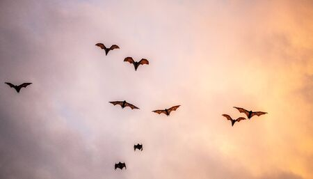 A flock of fruit bats in the sunset sky. The small flying fox, island flying fox or variable flying fox (Pteropus hypomelanus), fruit bat . Fox bat flying in the sunset sky. Foto de archivo - 140903856