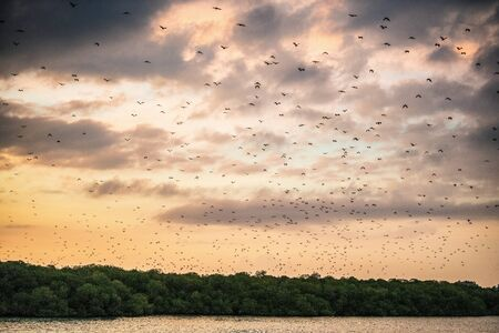 A flock of fruit bats in the sunset sky. The small flying fox, island flying fox or variable flying fox (Pteropus hypomelanus), fruit bat . Fox bat flying in the sunset sky. Foto de archivo - 140903863