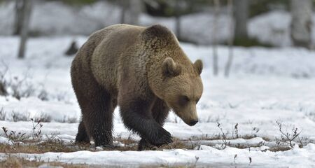Wild Adult Brown Bear (Ursus arctos) on a bog in spring forest. Stock Photo