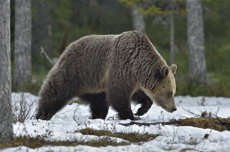 Wild Adult Brown Bear on the snow in early spring forest. Scientific name: Ursus arctos. 写真素材