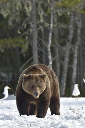 Brown Bear (Ursus arctos) male on the bog in spring forest.