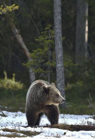Wild Adult Brown Bear on the snow in early spring forest. Scientific name: Ursus arctos. Stock Photo