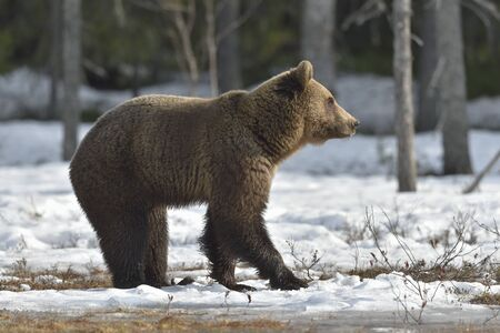 The Brown Bear (Ursus arctos)  on the swamp in spring forest. Stock Photo