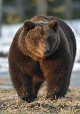 Dominant male of Brown Bear (Ursus arctos) in sunset light  on the swamp in spring forest.