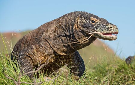 The Komodo dragon (Varanus komodoensis) with an open mouth. It is the biggest living lizard in the world, Indonesia. Rinca island Stock Photo