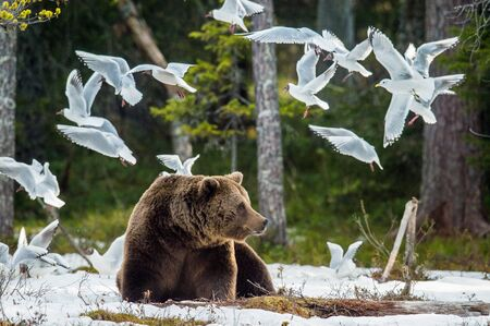 Seagulls (Black-headed Gull (Larus ridibundus)) and Adult male of Brown Bear (Ursus arctos) on the snow in spring forest.