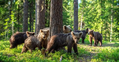She-bear and Cubs in the summer forest. Brown bear, Scientific name: Ursus Arctos Arctos. Natural habitat.