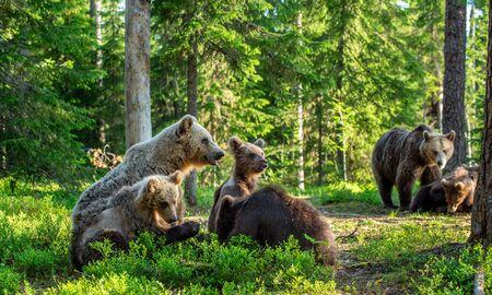 She-bear and Cubs in the summer forest. Brown bear, Scientific name: Ursus Arctos Arctos. Natural habitat. Stok Fotoğraf