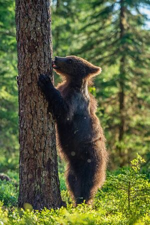Cub of Brown bear standing on his hind legs in the summer pine forest. Natural habitat. Scientific name: Ursus arctos.